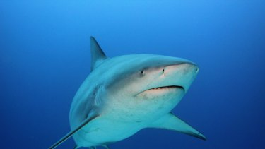 Bull sharks are thought to be hungrier when the water temperature rises.