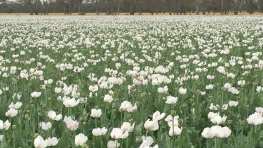 Legal opium poppies growing near Boort, in northern Victoria.