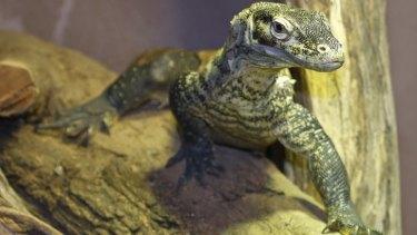 Raja is the first Komodo Dragon at Perth Zoo.