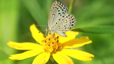 A normal adult pale grass blue butterfly suckles nectar from a flower.