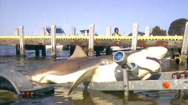 The fake Lakes Entrance shark.