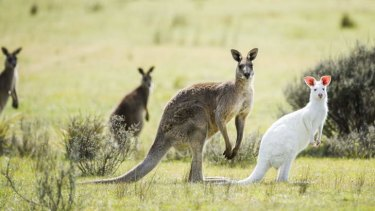 A rare albino kangaroo at the Namadgi National Park.