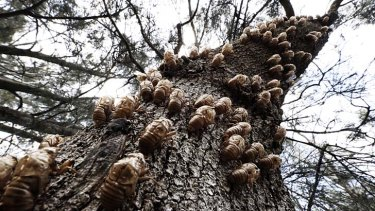 Sophisticated system: Cicadas have come out en masse this year, as seen by the number of insects and empty shells on this tree in Church Point.