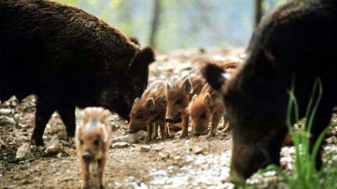 Culling not enough: Wild boars like these in southern France have been invading Marseille.