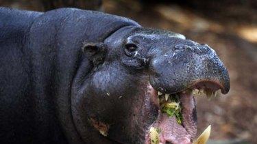 More than 30 hippos live on Pablo Escobar's former estate.