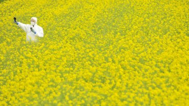 A Greenpeace activist takes samples in a genetically modified canola field near Teesdale, east of Geelong.