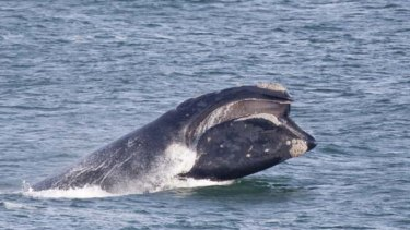 """""""Perplexing and urgent"""" ... a southern right whale."""