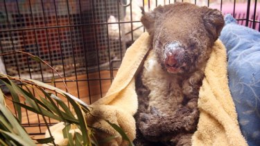 Suffering: This koala, being cared for in Kilmore, is another victim of the fires. He might also lose his habitat if stricter clearing codes are introduced.