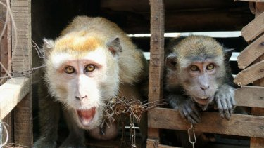Last call: Performing monkeys owned by Surmidi and chained at their home in Kampung Cipinang Besar.