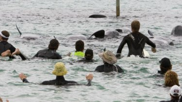 Rescuers herd a pod of long-finned pilot whales and bottlenose dolphins back out to sea from Hamelin Bay.
