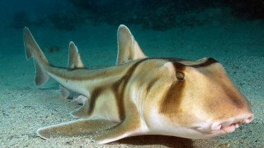 One of the ones that got away. A Port Jackson shark.