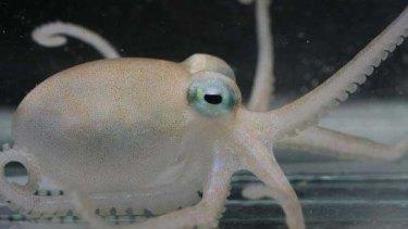 An Antarctic octopus.