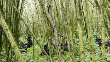 Get up close and personal with mountain gorillas in the Rwandan jungle.