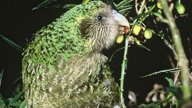 'Harsh, but...' The kakapo is one of the world's oldest birds.