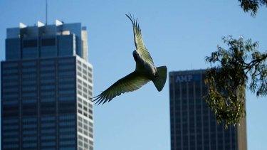 Urban habits: Sulphur-crested cockatoos in Sydney.