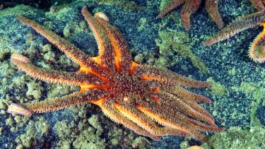 Death is days away: A sick sunflower starfish exhibits the characteristic emaciated appearance and lesions in the body wall of the illness.