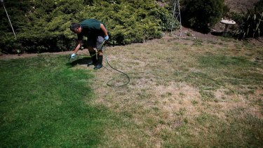A landscaper applies green paint to a brown lawn in Novato, California.