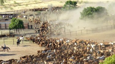Cattle at Moola Bulla Station, near Halls Creek in Western Australia.
