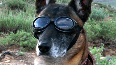 Even dogs need protection ... a military working dog wears Doggles to protect his eyes as a Chinook helicopter takes off in Afghanistan.