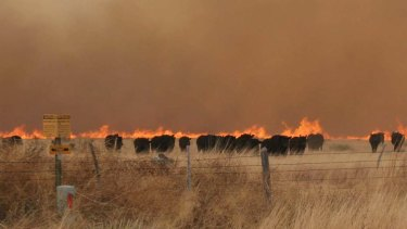 Cattle run from a wildfire near Marfa, Texas.