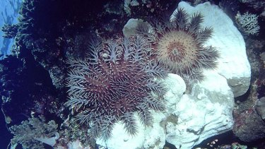 A crown of thorns starfish on coral.