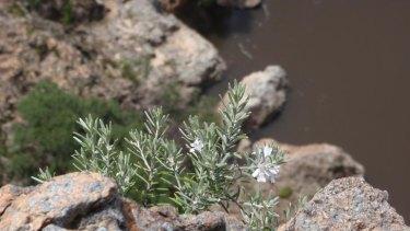 In search of the rare plant, Snowy River Westringia.