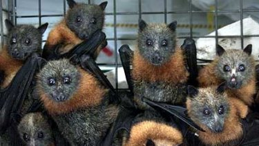 Flying foxes ... making life at the school hell, say teachers.