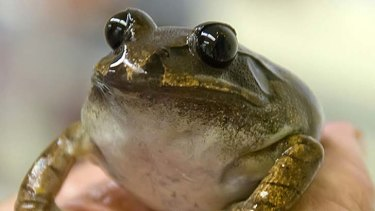 The egg donor frog.