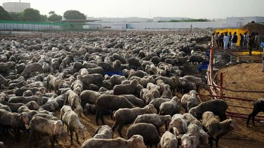 Killing ground … authorities say the sheep are diseased.