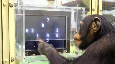 A 5 1/2-year-old chimpanzee named Ayumu performs a memory test with randomly-placed consecutive Arabic numerals, which are later masked, accurately duplicating the lineup on a touch screen computer. Chimps could memorise the nine numerals much faster and more accurately than human adults.