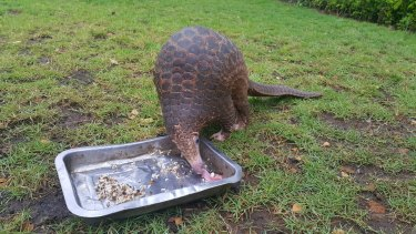 Lingker, a two-year-old pangolin at Bali Zoo.