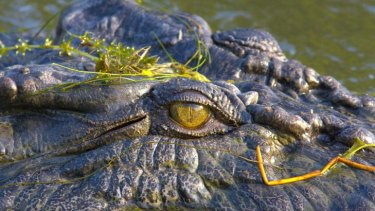 Crocodiles appear to be the new guard dogs for Queensland's drug dealers.