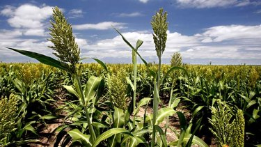 Sorghum crops have been hard hit by heatwave conditions.