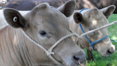 The Murray Grey cattle were shot by an RSPCA inspector, after complaints about starving animals.
