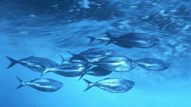 A team of biologists from Australia and Sweden has studies schools of fish to better understand their movement.