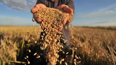 A bumper rice harvest could add to a global surplus of the staple grain.