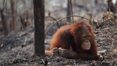 The orang-utan is one species endangered by deforestation.