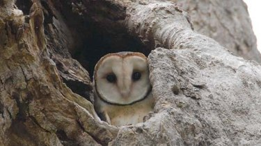 No place like home ... Tasmanian masked owls, which were introduced to Lord Howe Island in the 1920s, have thrived.