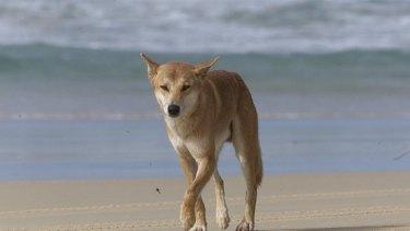 'A very misunderstood animal' ... dingoes are in danger of becoming extinct on Fraser Island, Jennifer Parkhust says.