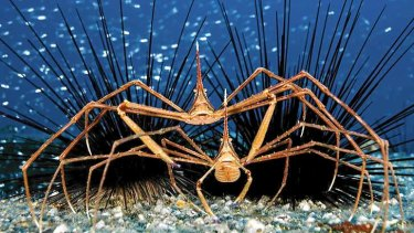 Nowhere to hide for these spider crabs.
