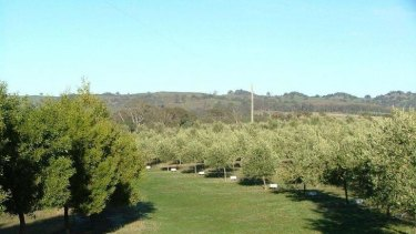 Olive groves in the Strathbogie Ranges estate.