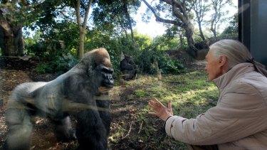 Jane Goodall at Melbourne Zoo's gorilla enclosure in 2011.