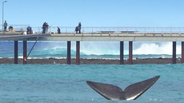 A pod of southern right whales has been seen between Lorne and Apollo Bay.