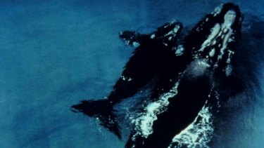 Southern right whales: Scientists can now monitor pods of whales from space.