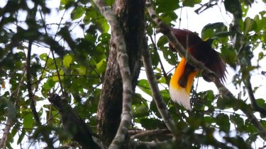 A lesser bird of paradise displays in the PNG rainforest.
