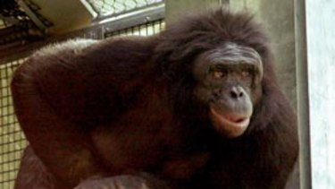 Kanzi is a chimpanzee that can reportedly communicate using symbols.