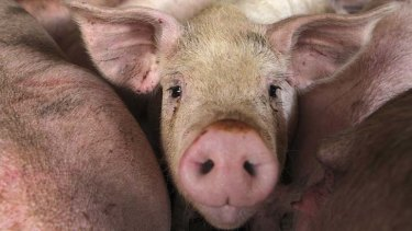 Pigmeat production is on the decline...
