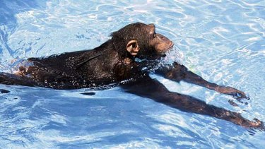 The chimpanzee stretches out for a lazy lap.