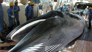Picture taken by Japan's Institute of Cetacean Research in 2013 shows a Bryde's whale on the deck of a whaling ship.