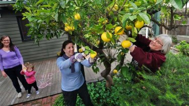 Fruitful times: Volunteers Gaby Harris (centre) and Kate Patrick pick the grapefruit from the garden of Keren Osborn and daughter Jane.